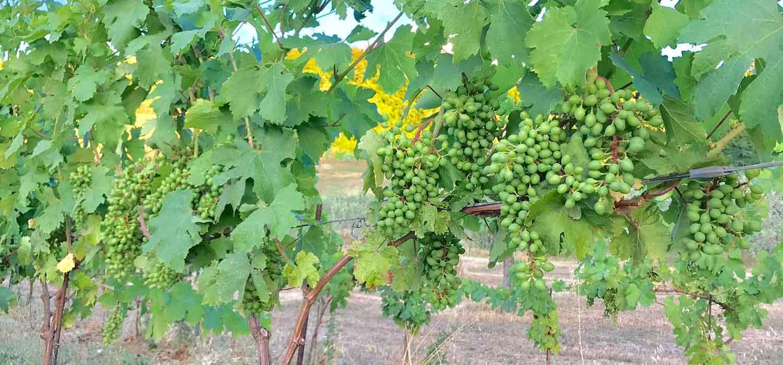 Iacopo-Paolucci-uva