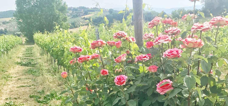 Iacopo-Paolucci-vigna-rose
